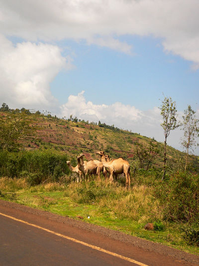 From Meru National Park Shaba National Reserve in Northern Kenya by Car Animals In The Wild Kenya Road The Week On EyeEm Africa Animal Themes Animal Wildlife Camel Day Documentary Grass Landscape Mammal Nature No People Outdoors Road Roadtrip Sky Tree