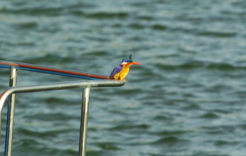 Kingfisher watching out from the railing Animal Themes Animal Wildlife Animals In The Wild Beauty In Nature Bird Close-up Day Ethiopia Kingfisher Kingfisher Bird Lake Nature No People One Animal Outdoors Perching Water