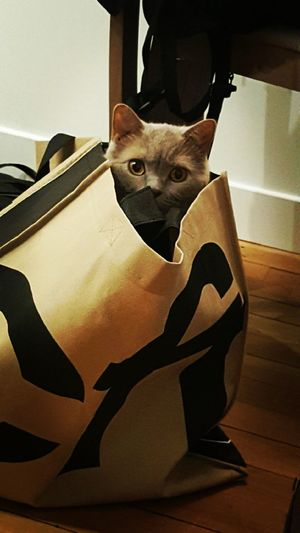 Cute Cats Professional Cat Helia British Shorthair Domestic Cat Cats 🐱 Cats Eyes Cat In Bag
