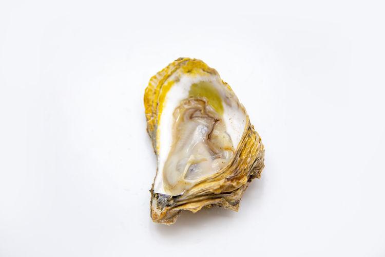 Shell Mollusk