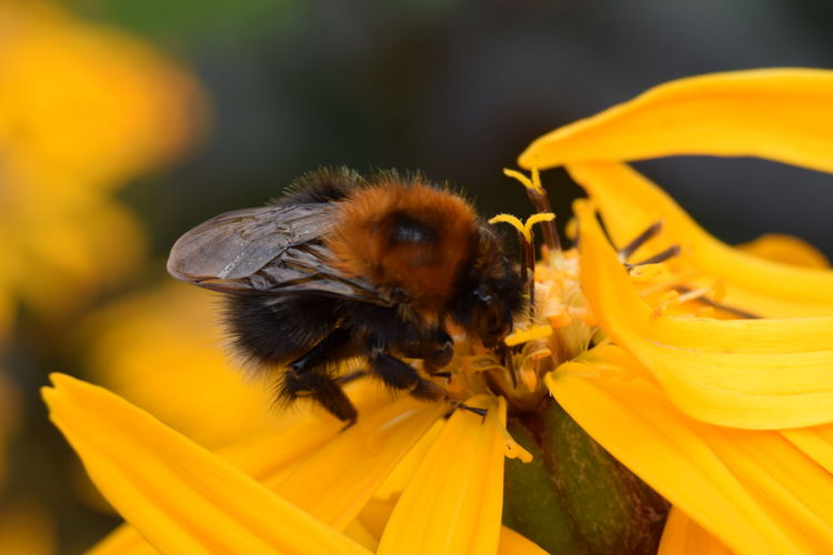 Close-up of bumblebee pollinating on yellow flower