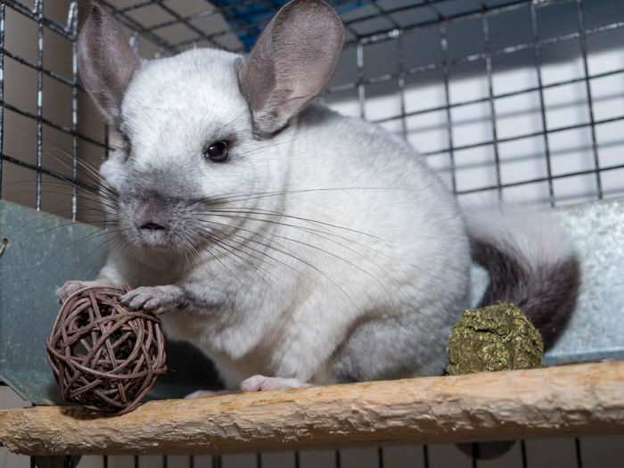Animal Pets Cage Rodent Chinchilla Wickerbal Wicker Ball Wicker Twig Ball White Chinchilla