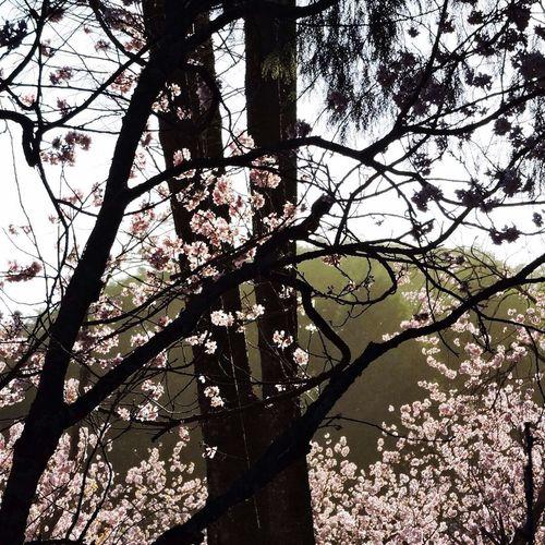 Tree Cerejeira Festivalcerejeira Sao Paulo - Brazil Flower Low Angle View Nature Beauty In Nature Springtime