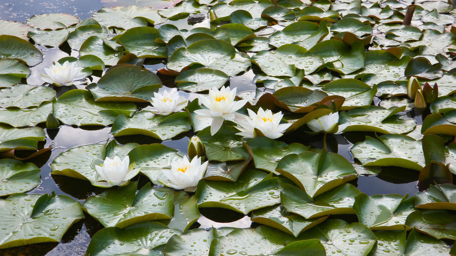 Close-up of white water lily amidst leaves