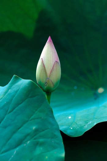 Close-up of lotus water lily