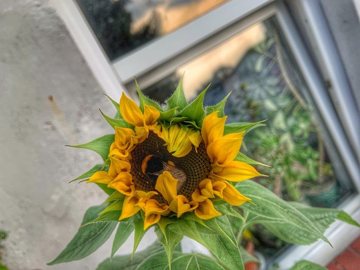 Close-up of sunflower on window