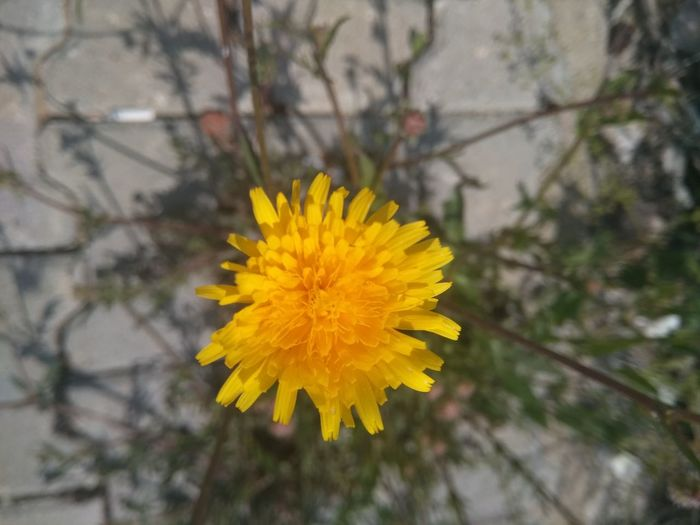 Iyigeceler Yellow Flower Nature Blossom Flower Head Outdoors Plant Fragility Day Freshness No People Focus On Foreground Petal Beauty In Nature Close-up Growth Hello World Fırst Eyeem Photo Amatör çekimlerim Kütahyalı First Eyeem Photo İyi Sahurlar