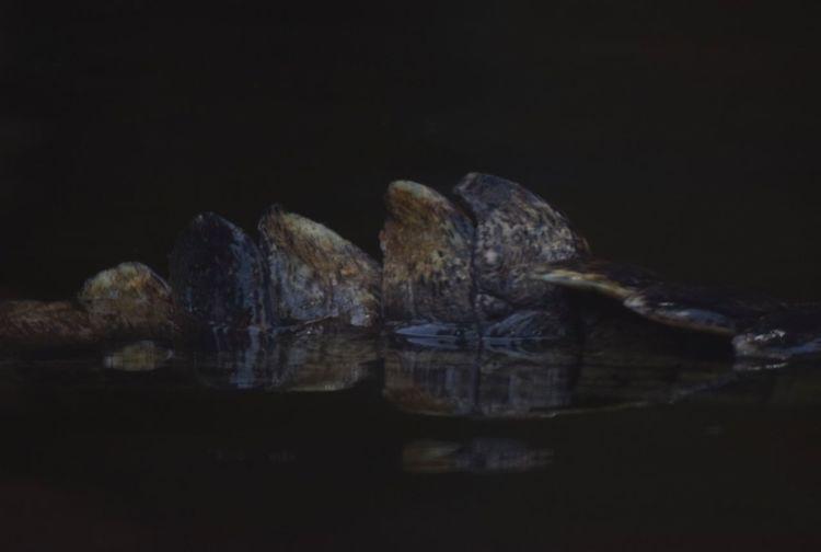 Crocodile Aileron Pet No People Indoors  Black Background Close-up Day
