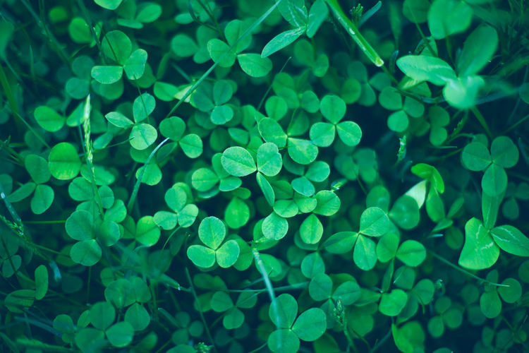 Close up of green fresh shamrock leaves. spring st. patrick's day clovers background. top view.