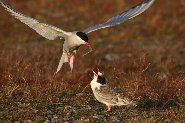 Food on the fly Iceland Mother And Son Deserted Prairie Fight For Life Food Food To The Chick Prairie Survival Wild Nature Wings Explained Wonderful Nature