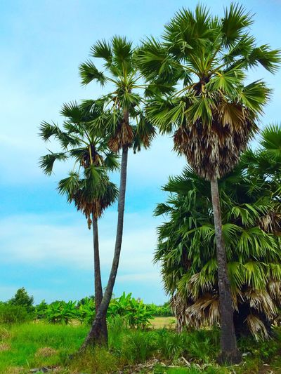 Sugar Palm Trees EyeEm Thailand EyeEm Best Shots Nature Relaxing EyeEm Enjoying Life Thailand Photography Thailand_allshots Thaiculture Relaxing Something Photo