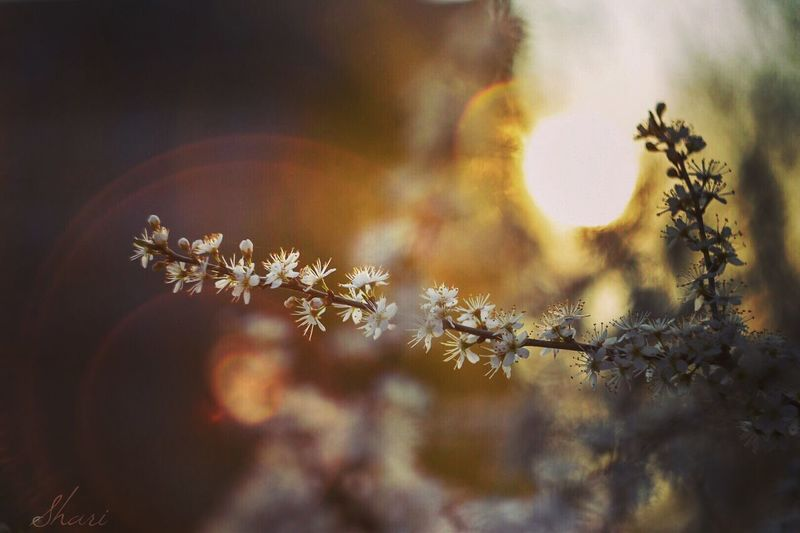 Spring and flower Bokeh Spring Flowers Springtime Temprature Helios 44-2 Bokeh Photography Sunset Plant Flower No People Nature Winter Sky Sunlight