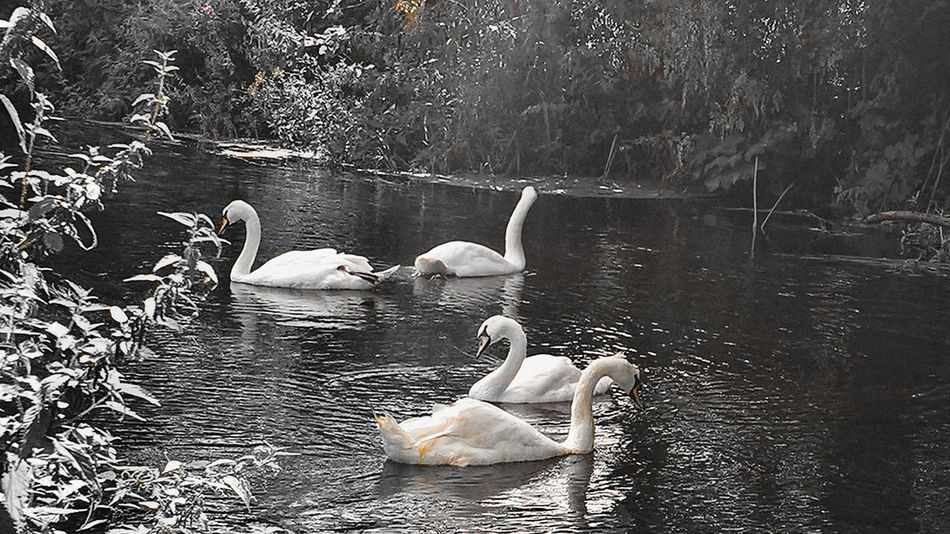 Animal Animal Themes Animals In The Wild Avian Beauty In Nature Bird Black And White Day Flock Of Birds Lake Medium Group Of Animals Nature Orange Color Outdoors Rippled Swan Swimming Togetherness Tranquility Water Water Bird Water Surface Waterfront Wildlife Young Animal