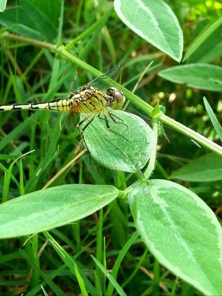 Dragonfly Resting In Leaf Dragonfly Dragonfly Resting In Leaf Fly And Leaf Dragonfly Head Golden Dragonfly