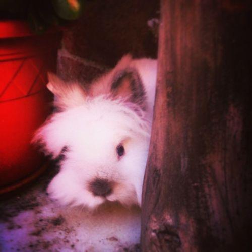 En Teddy!!! Teddydwarf Teddybear Rabbit Conill Conejo Cute Animalslovers Rabbitlovers