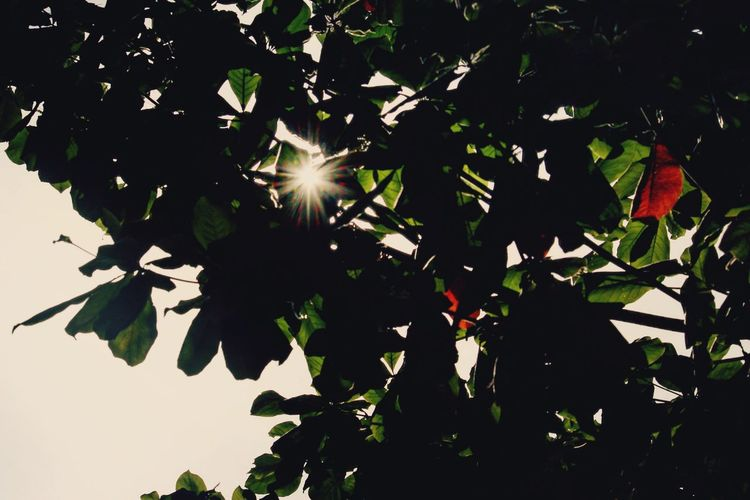 Leaf Nature Tree Growth Low Angle View Outdoors Sun Silhouette No People Sunlight Beauty In Nature Freshness Day Branch Plant Clear Sky Close-up Sky