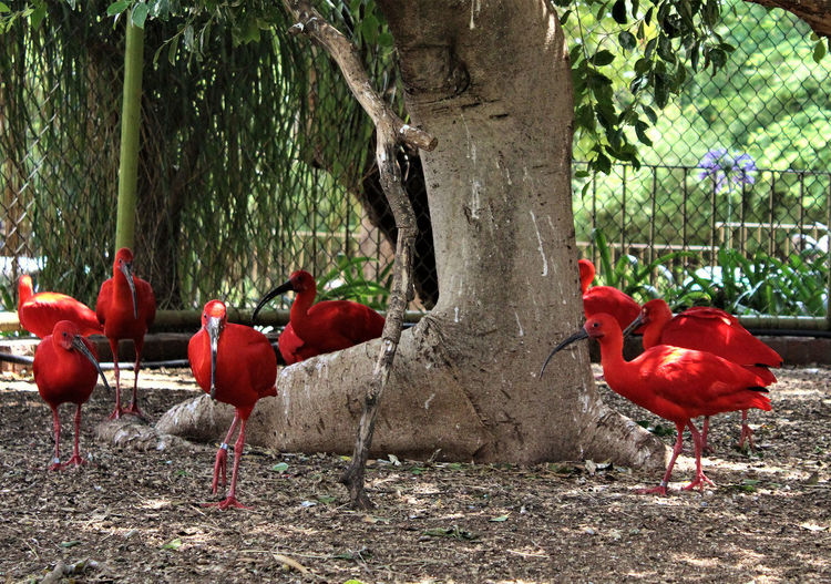 Red Birds Zoo Animal Animal Themes Animal Wildlife Animals In The Wild Beauty In Nature Bird Bird Park Marlow Day Field Group Of Animals Nature No People Outdoors Plant Poultry Red Red Ibis Scarlet Macaw Tree Tree Trunk Trunk Vertebrate Zoological Garden