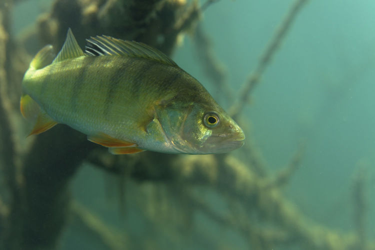 Underwater photo of perca fluviatilis, commonly known as the common perch in soderica lake, croatia