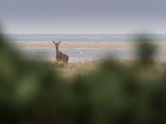 Darß / Baltic Sea Deer Ostsee Animal Animal Themes Animal Wildlife Animals In The Wild Beauty In Nature Darß Darßer Ort Deer Domestic Animals Grass Herbivorous Land Mammal Nature No People One Animal Outdoors Plant Scenics - Nature Sky Vertebrate Water