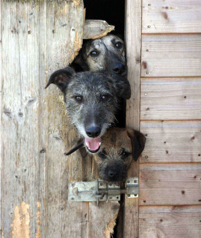 Squeeze Animal Animal Themes Border Terrier Close-up Day Dog Domestic Animals Door Looking At Camera Lurcher Mammal No People One Animal Outdoors Pets Portrait Squeeze Terrier Timber Wood - Material