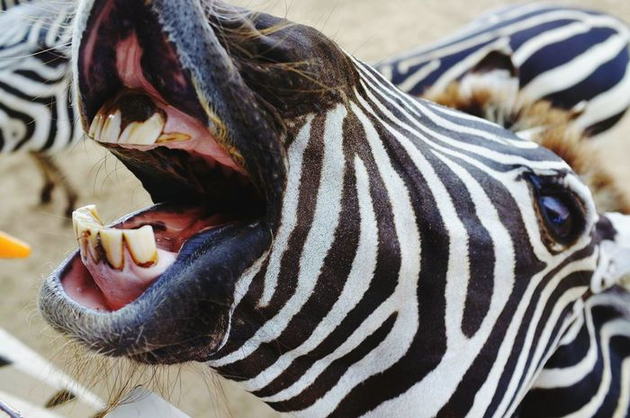 Close-up Outdoors Zebra Stripes Toothy Smile Funny Moments