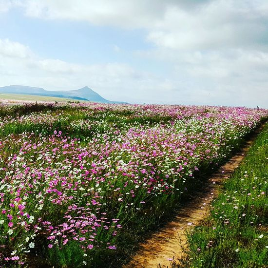 Flower Nature Blossom Beauty In Nature Plant Day Pink Color Landscape Outdoors Scenics Clarens Travel South Africa Free State Flower Nature Blossom Beauty In Nature Plant Growth Cloud - Sky Day No People Sky Landscape