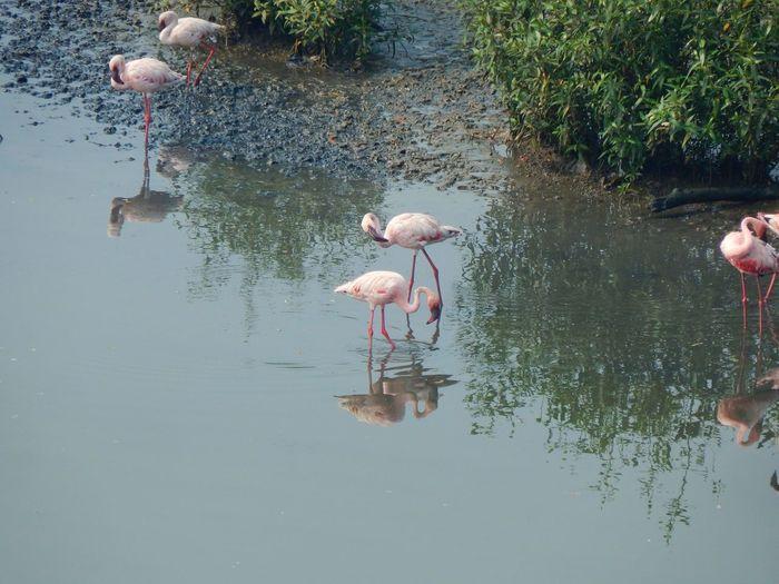 Flamingos Flamingo Bird Water Lake Reflection Full Length