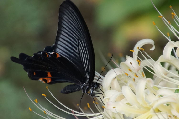 Flower EyeEm Nature Lover EyeEm Best Shots Nature_collection 曼珠沙華 彼岸花 Cluster Amaryllis Insect Butterfly - Insect