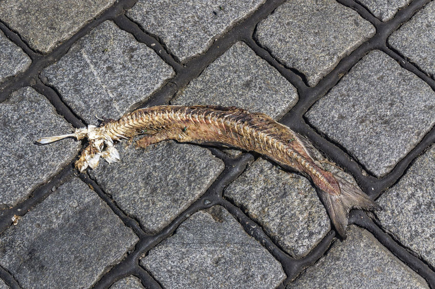 Hamburg , Germany, June 26, 2018: Close-Up of Dead Fish on Cobblestone Road near Elbe River Copy Space Death Germany 🇩🇪 Deutschland Hamburg Harbor Industry Animal Wildlife Backgrounds Close-up Cobblestone Cobblestone Road Day Dead Elevated View Fish Fishing Full Length High Angle Vew High Angle View Nature No People One Animal Port Vertebrate Warehouse