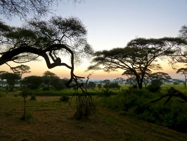 Tarangeri sunrise Africa Africa Collection African Early Early Morning EyeEm Landscape EyeEm Nature Lover Landscape Landscape_photography Silhouette Of Tree Silhouettes Sunrise Tanzania Tarangire