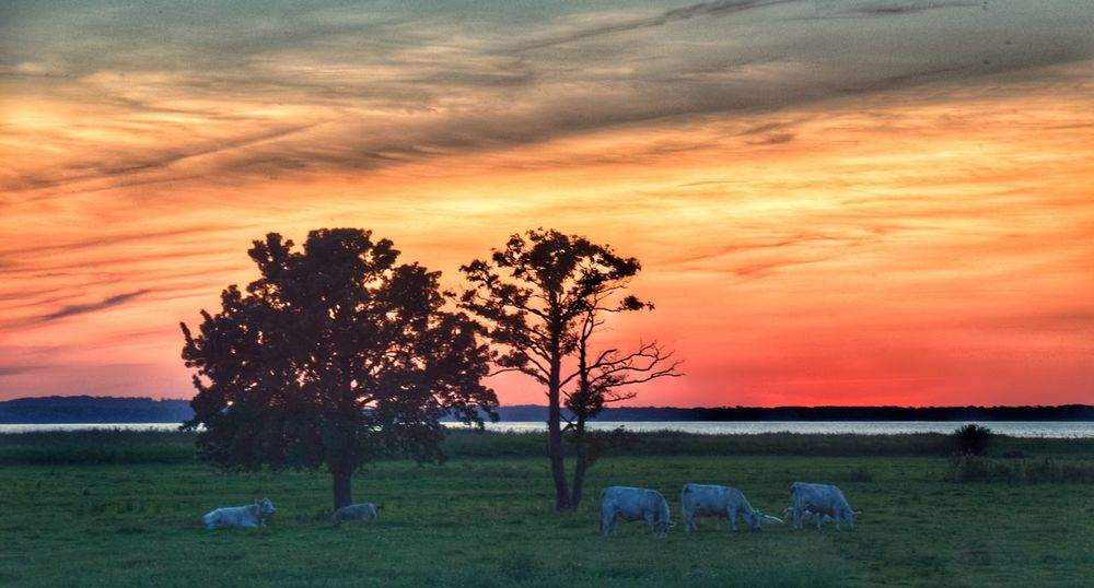 In the evening // Am Abend Sunset Sky Beauty In Nature Scenics Nature Orange Color Animal Themes Field Baltic Sea Achterwasser Grass Cloud - Sky Landscape Tree Domestic Animals Tranquility Silhouette Mammal Livestock Grazing Sea Summer Ostsee Landscape_Collection Nature