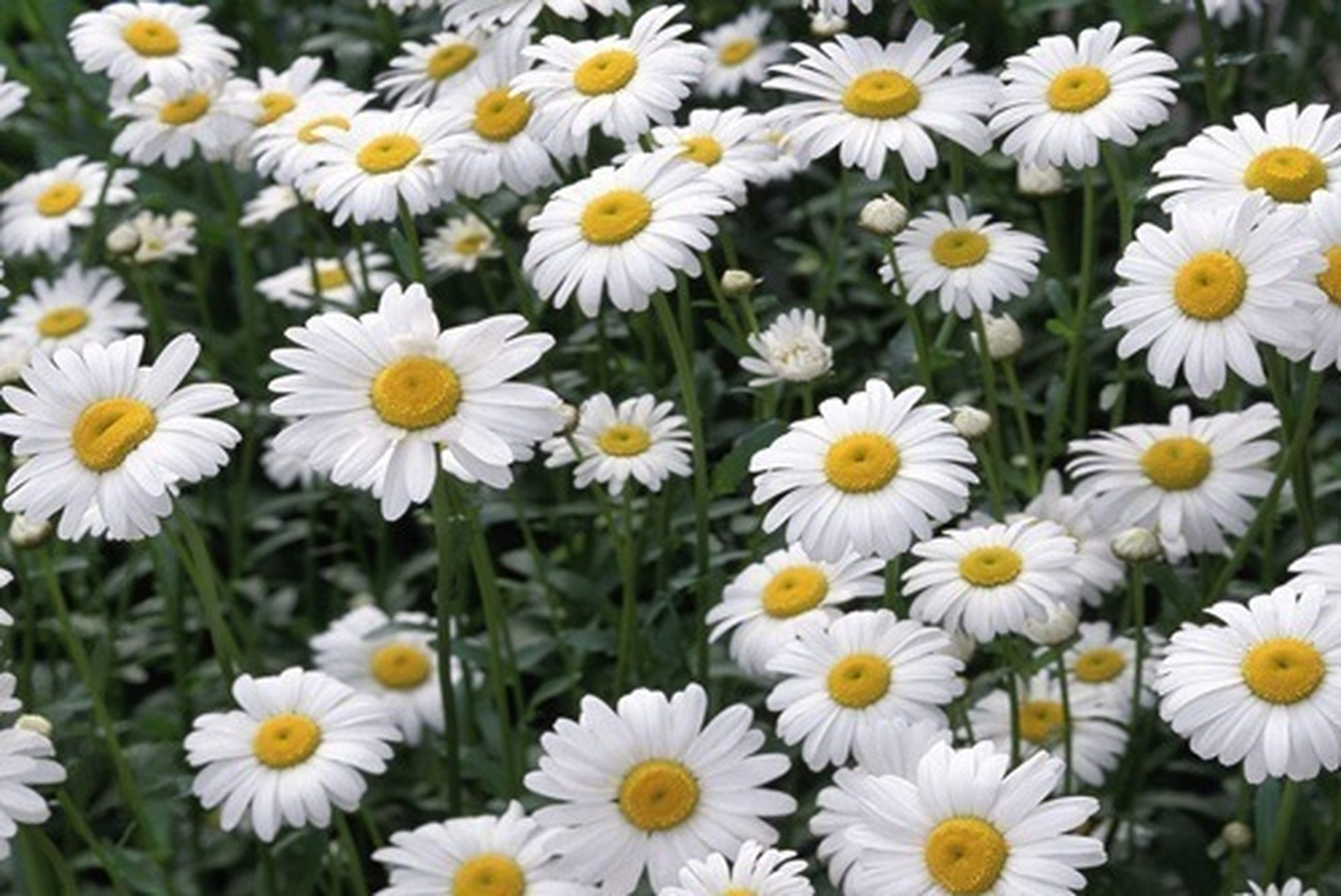 flower, freshness, petal, fragility, growth, daisy, white color, beauty in nature, flower head, nature, blooming, field, plant, pollen, high angle view, abundance, close-up, yellow, focus on foreground, day