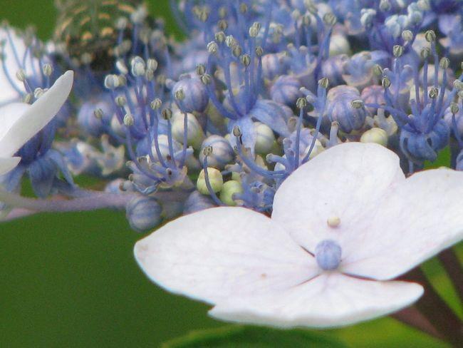 Japan Nature Flower 紫陽花 紫陽花-hydrangea-