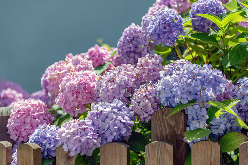 Flower Flowering Plant Plant Nature Beauty In Nature Freshness Vulnerability  Close-up Fragility Leaf Growth Purple Plant Part Lilac No People Day Pink Color Wood - Material Focus On Foreground Petal Outdoors Flower Head Springtime Bunch Of Flowers Bouquet Hortensia Flower