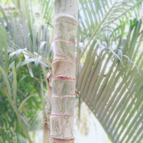 Stem Tree Tree Trunk Close-up Plant Bamboo - Plant