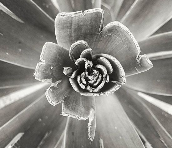 Captured this random Plant image. Filters worked out quite well. Instaplant Plants Green Pattern Circular Focus Blackandwhite Blackandwhitephotography Bnw Minimal Colorless Sonyxperia XPERIA Xperiaz3photography Xperiaphotography XperiaZ3compact Ff_camera Monochrome Photography Welcome To Black Black And White Friday