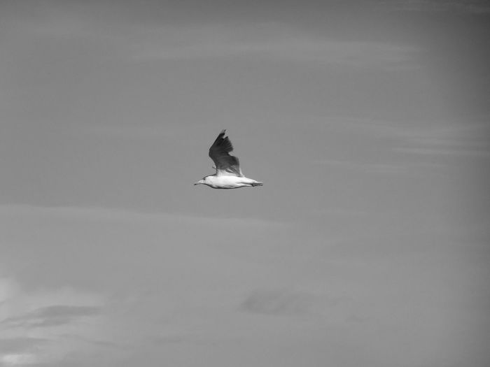 Gull Animal