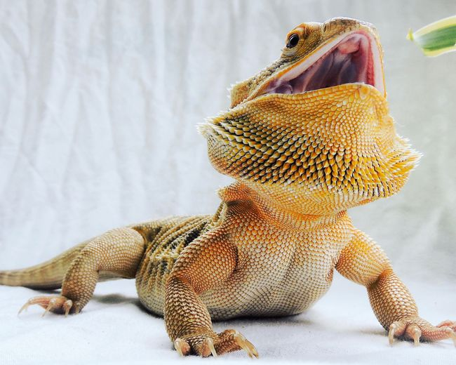 Close-up of bearded dragon with mouth open on white backdrop