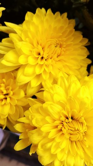 Flowers Flower Flores Amarillo Color Yellow Yellow Flower Floral Petalos