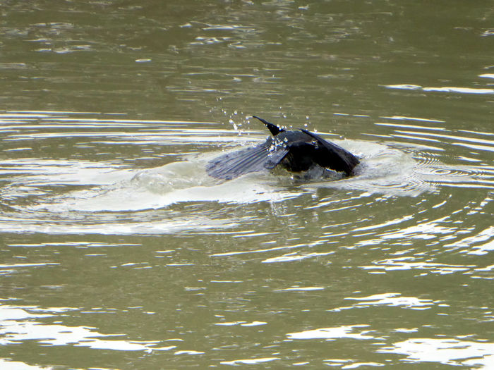 Cormorant Dive In water😍 Could Watch For Hours Tranquility Animals Are Never Boring Me😍 For My Friends 😍😘🎁 Stormy Weather Bad Weather Good Mood Love To Zoom😍 Low Angle View Cormorant Am Mittellandkanal Hannover Water Bird
