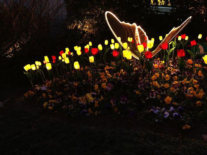 Flower Night Illuminated No People Outdoors Nature Plant Freshness