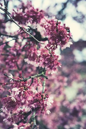 Flowering Plant Plant Flower Freshness Fragility Growth Vulnerability  Beauty In Nature Pink Color Nature Close-up Blossom Tree Selective Focus Springtime No People Branch Day Focus On Foreground Outdoors Flower Head Cherry Tree Cherry Blossom Spring Purple