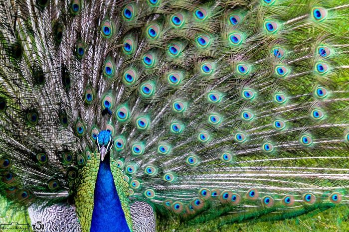 •[ Pavone ]• Pavone Pavoneggiamoci Animal Wildlife Bird Beauty In Nature One Animal Animal Themes Multi Colored Peacock Peacock Feather Nature Beauty Vanity Portrait Animals In The Wild Green Green Color Beauty In Nature Photograph Photography Photo Photooftheday Photography Themes Animals In The Wild Animal
