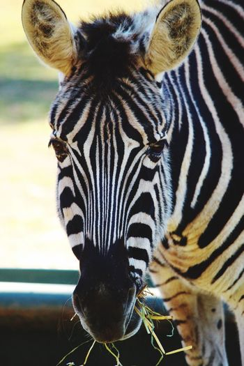 Zebra Eating Animal Themes Animal Animal Wildlife Animals In The Wild One Animal Animal Markings Close-up Striped Zebra Portrait Looking At Camera Focus On Foreground Day Outdoors No People Vertebrate Natural Pattern