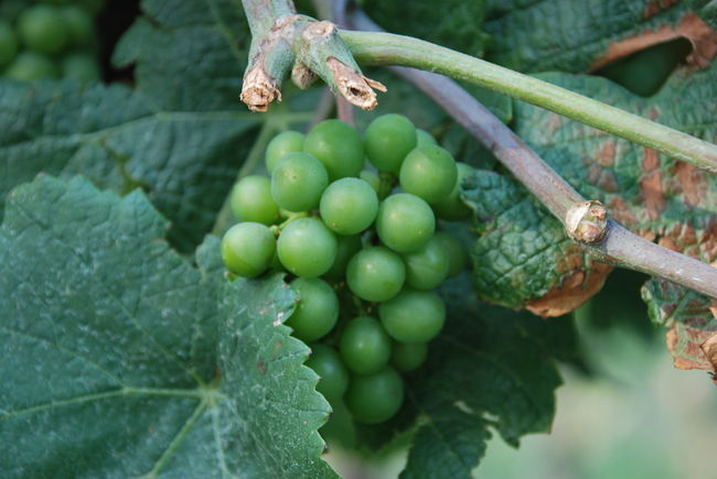 Green Color Nature Plant Wine Grape Wine Leaves Chardonnay Spring Wine Wine Grapes Wine Growing