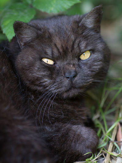 """""""Do I Look Like I Care About Your Mission??"""" Black Cat Busy Disapproval Grumpy Pet Portraits Animal Themes Annoyed Black Close-up Day Domestic Animals Domestic Cat Don't Care Feline Fierce Go Away Grumpy Cat Grumpycat Hard At Work Mammal No People One Animal Outdoors Pets Who Cares"""
