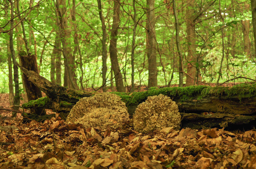 Nature Oak Forest Big Mushroom Forest Photography Lumpy Bracket Mushroom Polyporus Umbellatus Umbrella Polyporus