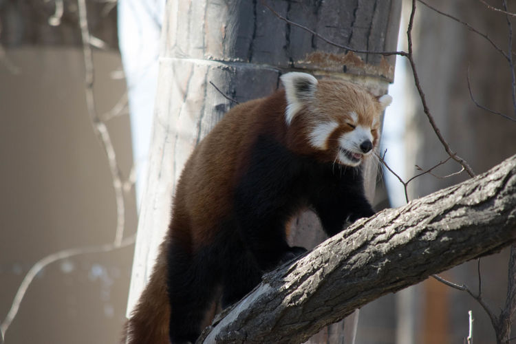 Low Angle View Of Red Panda On Tree Trunk