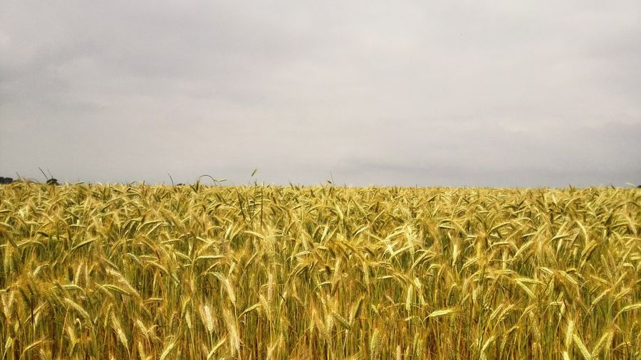 Wheat Crop  Agriculture Beauty In Nature Tranquility