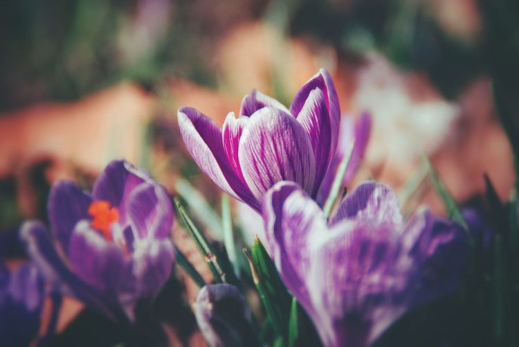Spring, Purle